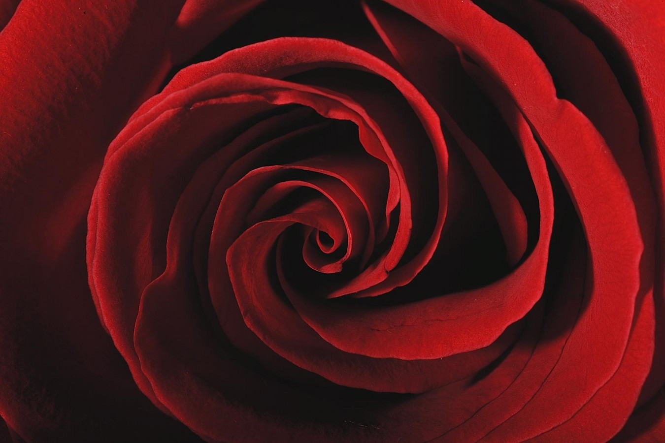 Photo d'une Rose rouge par Arman